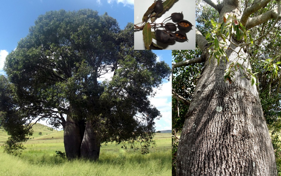 Queensland Bottle Tree removal