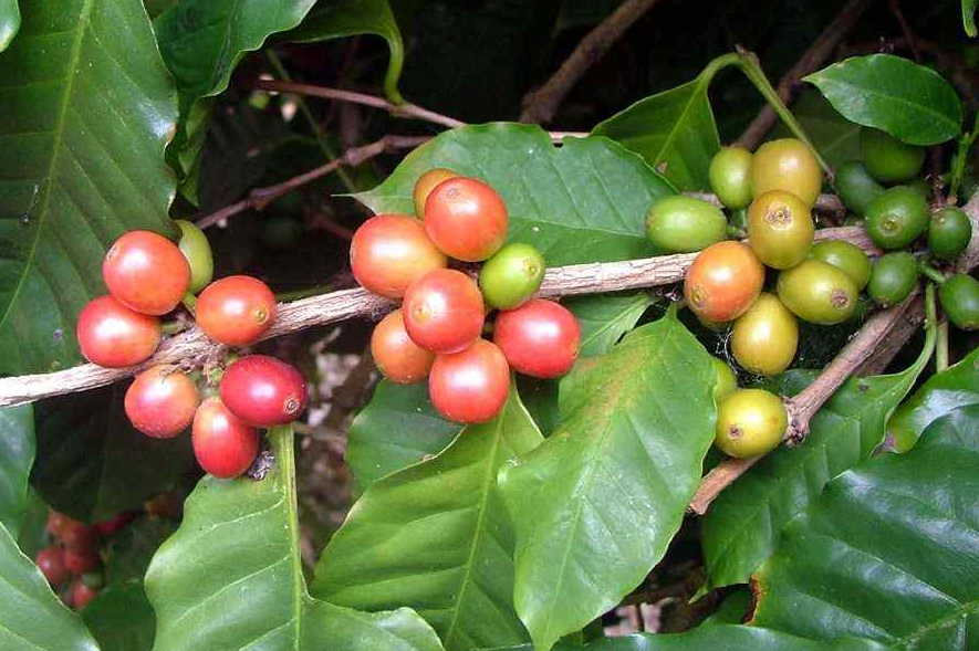 Arabian Coffee plant with berries
