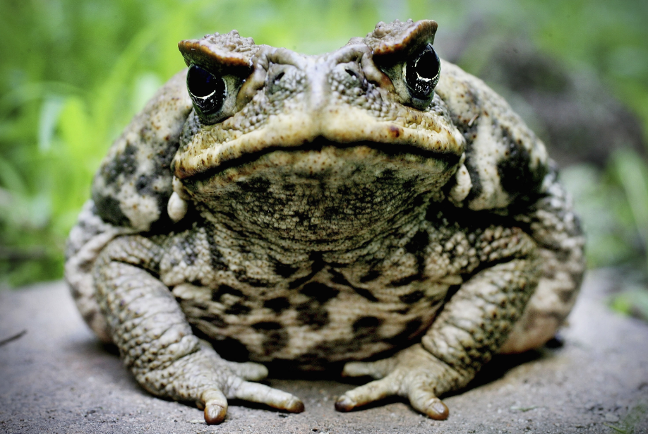 big male can toad queensland australia