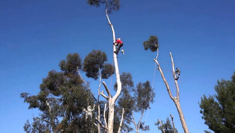 tall trees cut down brisbane QLD