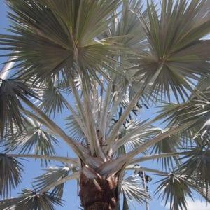 remove palm tree