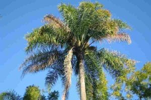 how to remove a palm tree