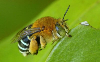 Native Bees in Australia – Why Their Preservation is Vital