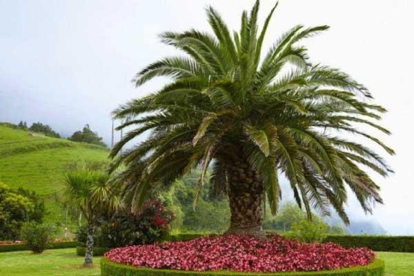 date palm price