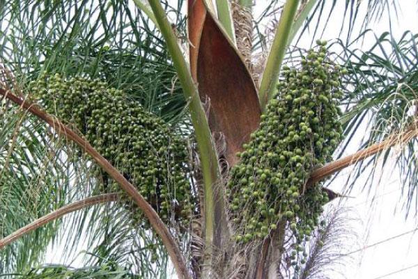 cocos palm tree brisbane south