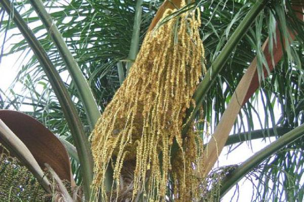cocos palm trees brisbane