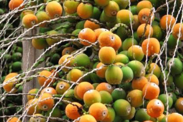 cocos palm tree removals brisbane