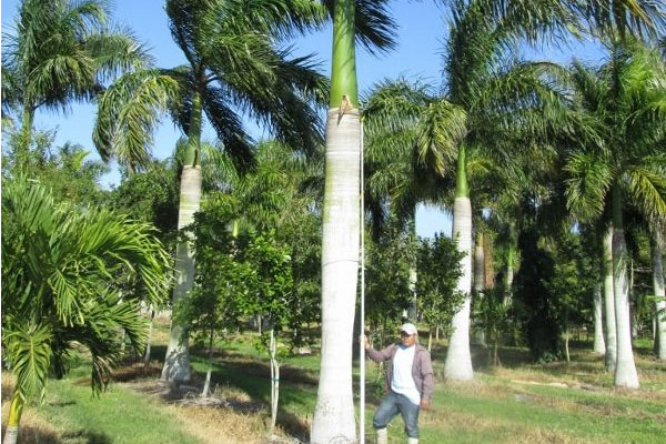 cuban royal palm tree removal brisbane southside