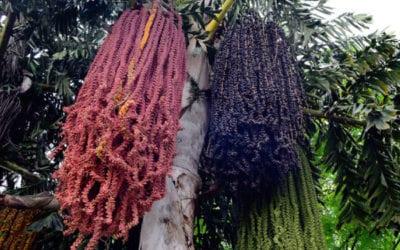 Fishtail Palm Tree Brisbane QLD