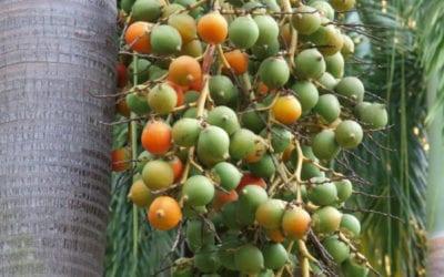 Foxtail Palm Tree Brisbane QLD
