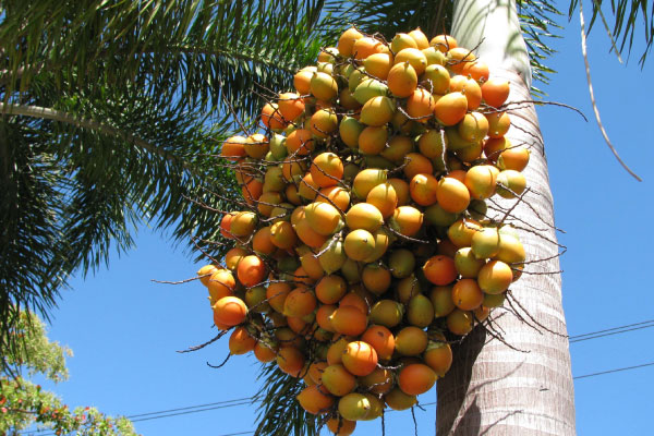 foxtail palm tree brisbane seeds