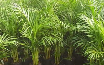 Golden Cane Palm Tree Brisbane QLD