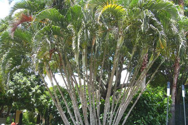 golden cane palm tree logan