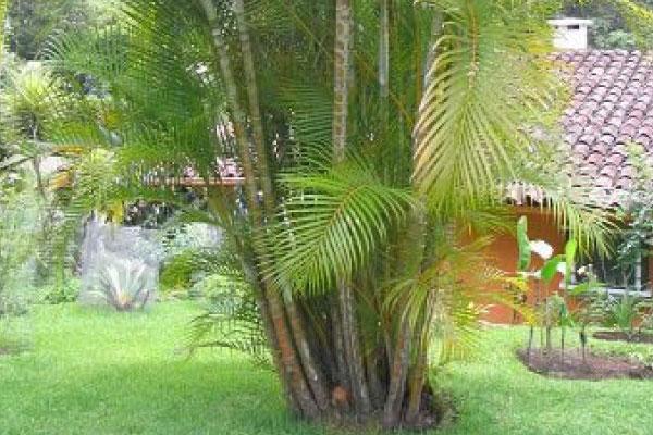 golden cane palm tree brisbane
