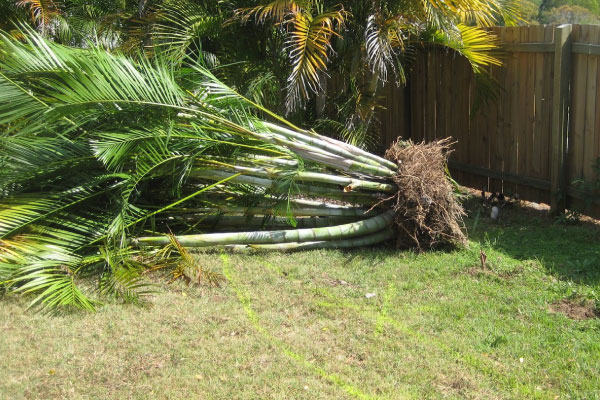 golden cane palm tree removal