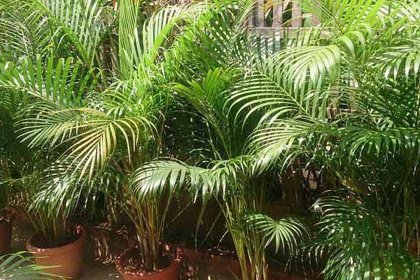 golden cane palm tree ipswich
