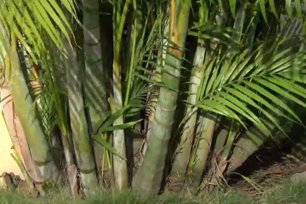 golden cane palm tree gold coast
