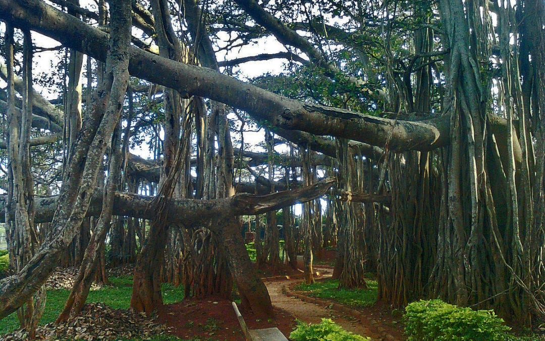 What is So Special About a Banyan Tree