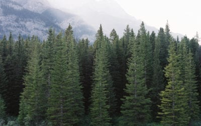 What Are Evergreen Trees?