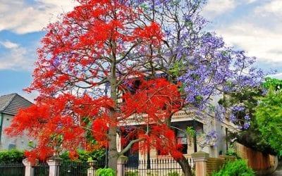 Flame Tree Brisbane QLD