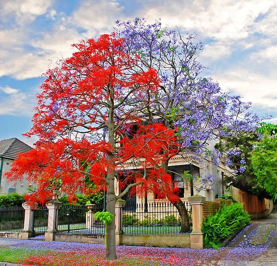 illawarrah flame tree
