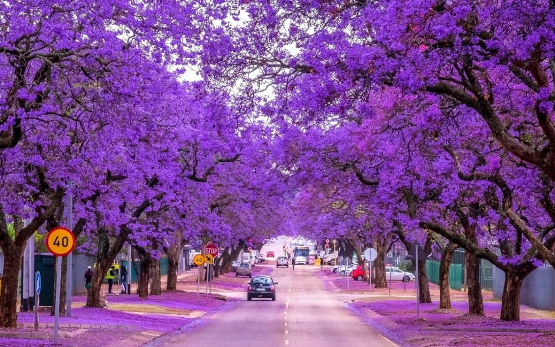 The Beautiful Jacaranda Brisbane QLD