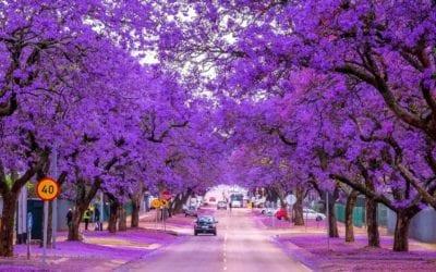 The Beautiful Jacaranda Brisbane QLD