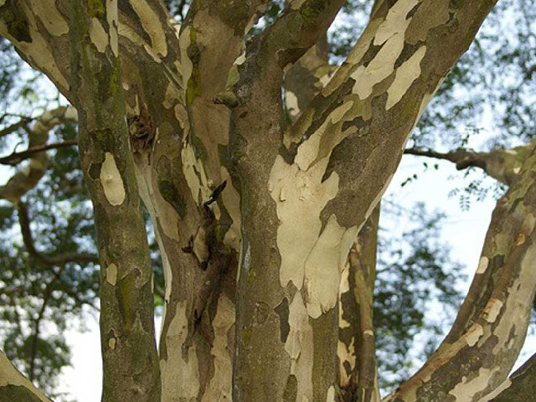 leopard tree removal brisbane