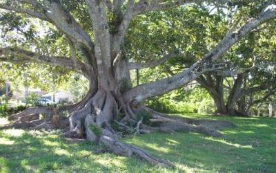 Moreton Bay Fig Tree Brisbane QLD