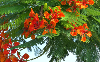 What Are Poinciana Trees?