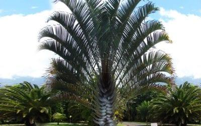 Triangle Palm Tree Brisbane QLD