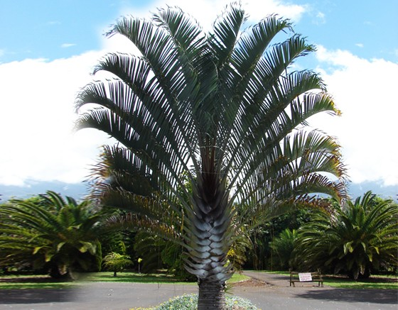 Triangle Palm Tree Brisbane QLD